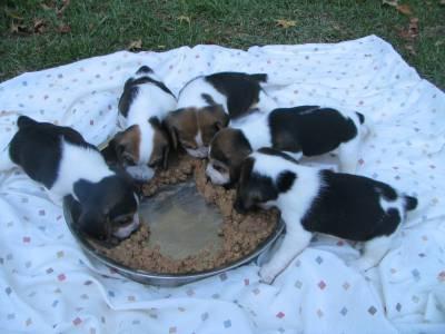 Beagles Filhotes Com Pedigree
