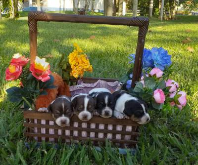 Filhotes Fox Paulistinha Terrier Brasileiro