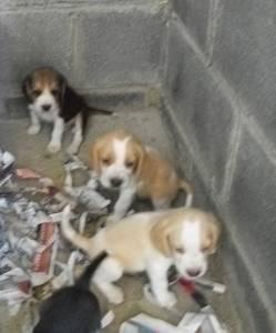 Filhotes Beagle Tricolor e bicolor mini