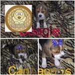 Beagle beagles filhotes fêmea  Distrito Federal Brasilia