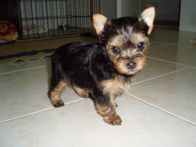Lindos Machos yorkshire terrier mini puros