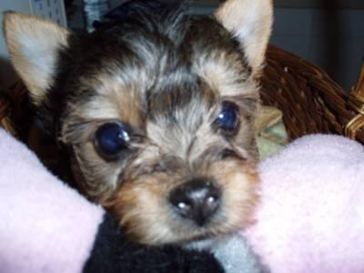 cachorras yorkshire mini puras