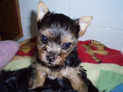 cachorrinho yorkshire terrier mini lindo