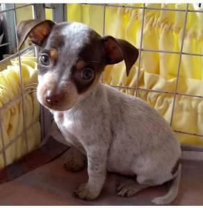 Fox Paulistinha- Terrier Brasileiro