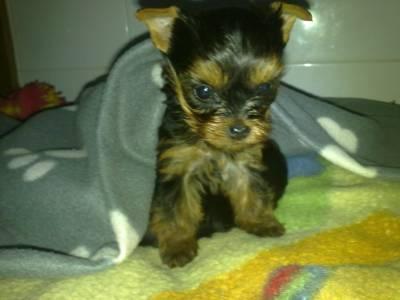 Lindo cachorrinho yorkshire terrier