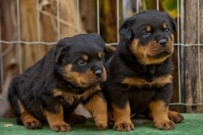 Rottweiler - Linda ninhada - Pai importado