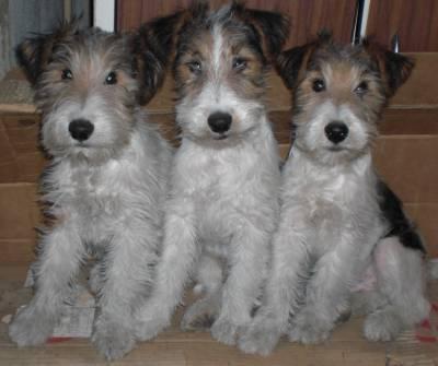 Cachorrinhos Fox Terrier - LOP