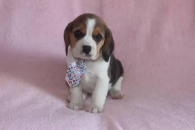 Beagle Bicolor femeas e machos
