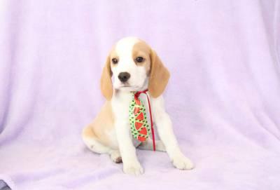 Beagle Machos Bicolor e Tricolor