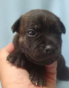 Filhotes De Staffordshire Bull Terrier - Machos
