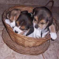 beagles tricolores  machos femeas