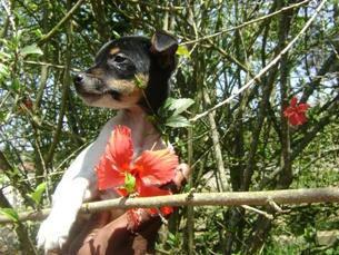 FOX PAULISTINHA - Terrier Brasileiro - FILHOTES