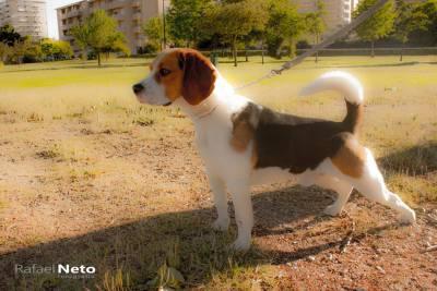 Beagle Macho com registo LOP