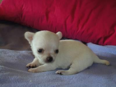 Chihuahua de Pelo Curto Miniatura