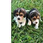 Beagle Lindos Filhotes de Beagle São Paulo São Paulo