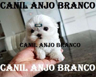 MALTES MALTÊS MICRO ANJO BRANCO