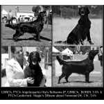 Flat-coated Retriever Ninhada de Flatcoated Retriever Setúbal Montijo