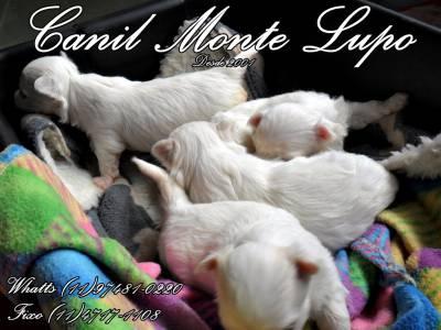 Lindos Filhotes de Maltes - Canil Monte Lupo