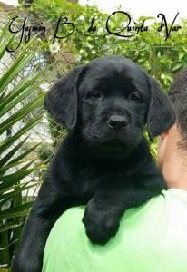 Seleção criação e venda de Labrador Retriever