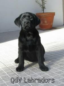 Labrador retriever para venda