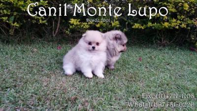 Lindos Filhotes de Spitz Alemão - Canil Monte Lupo