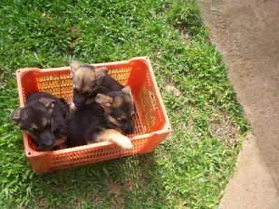 filhotes pastor alemao capa preta