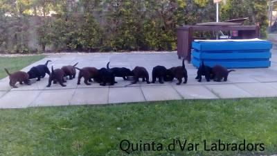 Labrador Retriever Castanhos