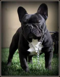 machos Bulldog Frances para cruzamento