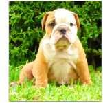 Bulldog Inglês Bulldog Inglês-cachorra Coimbra Coimbra
