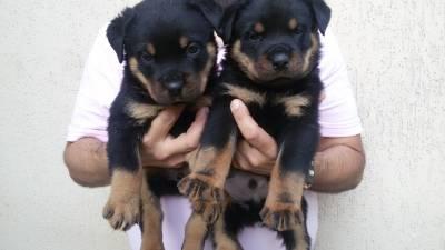 Filhotes de Rottweiler Padrão Alemão