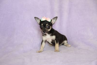Chihuahua Machos e Fêmeas