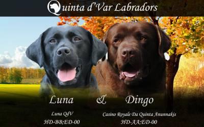 Labrador Retriever Castanhos e Pretos
