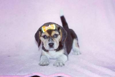 Filhotes de Beagle Femea