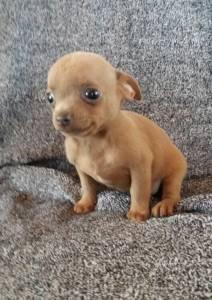 Chihuahua lindos filhotes disponíveis