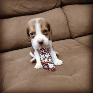 Beagle  Machos