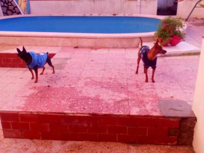 Pinscheres cavalinho para cruzar