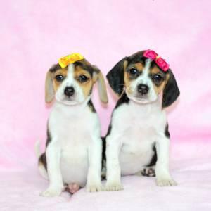 Beagle tricolor machos e fêmeas