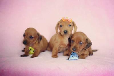 Filhotes de Basset Miniatura