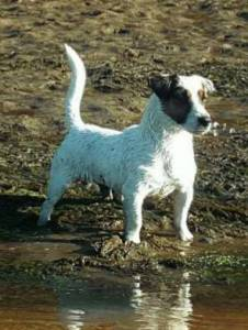 Jack Russell Terrier Progenitor