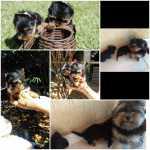 Yorkshire Terrier Yorkshire micro menores de Brasília
