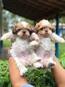 Shih-tzu lindos filhotes disponíveis porte bem pequeno