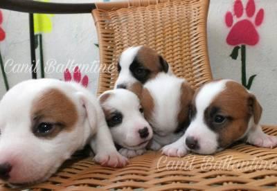 Criadores de Jack Russell Terrier CANIL BALLANTINE
