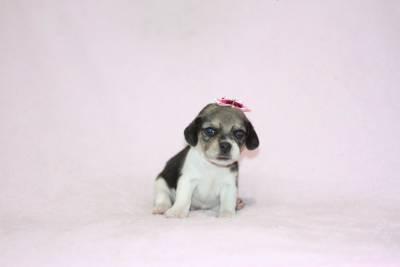 Beagle Femeas