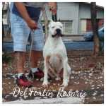 Dogue Argentino Dogo Argentino Del Fortin Rosario São Paulo Campinas
