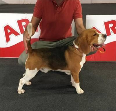 Beagle Tricolor jovem