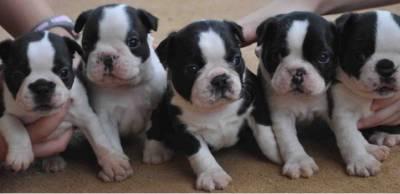 Boston Terrier Venda e Reserva de Filhotes