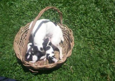 Fox Paulistinha Terrier Brasileiro Filhotes