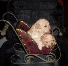 Poodle Toy Lindos Filhotes Com Procedencia