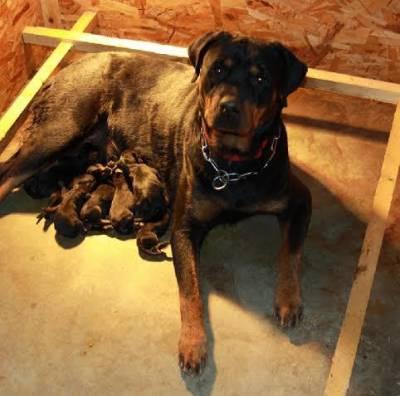 Rottweiler Filhotes com Procedência