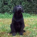 Retriever Do Labrador Labrador Retriever Aveiro Anadia